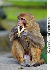 Affen essen eine Banane