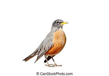 Amerikanische Robin isoliert.