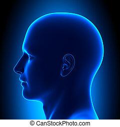 Anatomiekopf - Seitenansicht - blauer Kontra