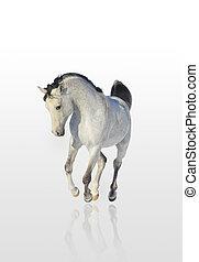 Arabisches Pferd isoliert.