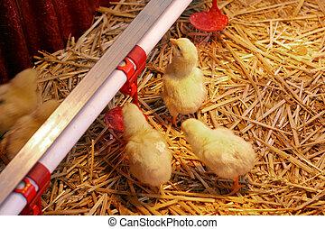 Baby-Hühnchen.
