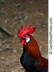 Bantam Hühnchen