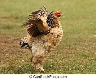 Bantam-Hühnchen.