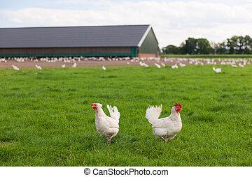 Biologisches Huhn