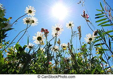 blaues, sommerblüte, himmelsgewölbe, gänseblumen