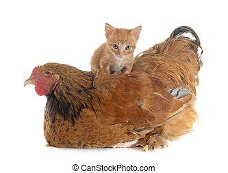 Brahma-Hühnchen und Kätzchen.