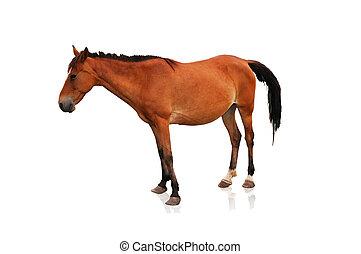 Braunes Pferd isoliert im weißen Hintergrund