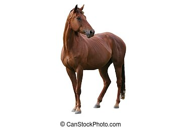 Braunes Pferd isoliert