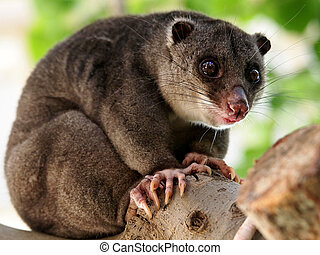 cuscus, boden