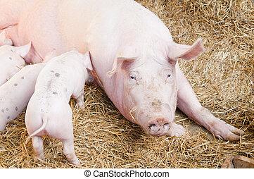 Das Schwein ernährt kleine rosa Schweine