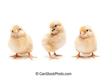 Drei süße Babyhühnchen