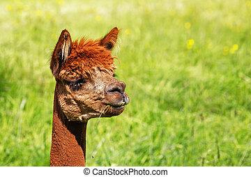 Ein Alpaka isst ein Blatt grünes Gras.
