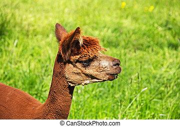 Ein Alpaka isst eine Grashalme.