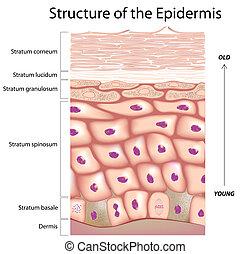 Epidermis der Haut