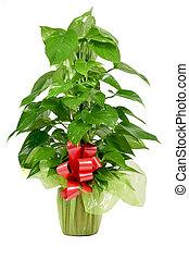 epipremnum, pflanze, geschenk-gewickelt, aureum