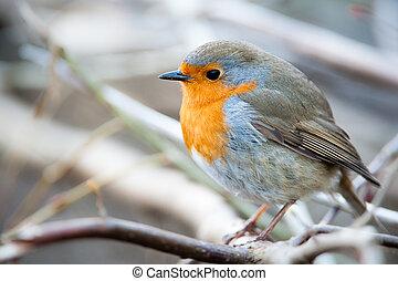 Europäischer Robin