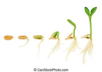 evolutionsphasen, begriff, reihenfolge, freigestellt, pflanze, wachsen, kã¼rbis