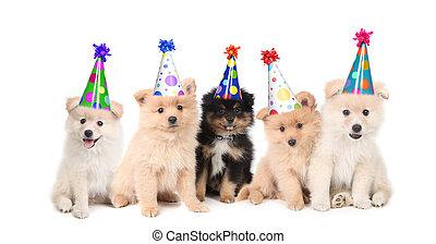 Fünf pomeranische Welpen feiern einen Geburtstag