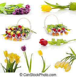 Farbige Frühlingstulpenblumen. Tulpen, isoliert auf weißem Hintergrund