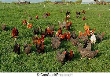 Freie Hähnchen