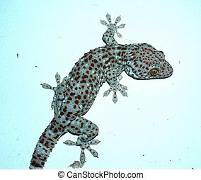 Gecko.