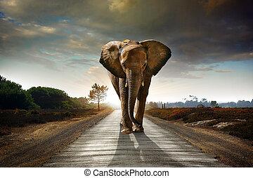 gehen, elefant