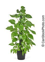 goldenes, pflanze, epipremnum, aureum, pothos, oder