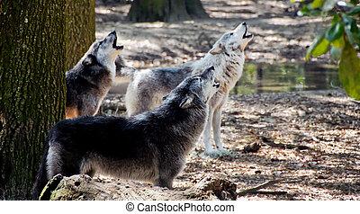 Graue Wölfe heulen