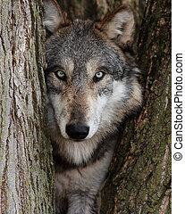 Grauer Wolf kann Lupus sein