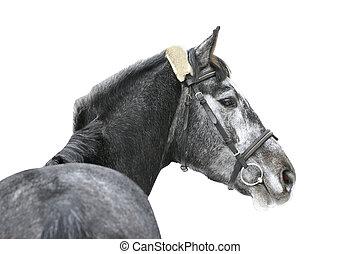 Graues Pferd isoliert