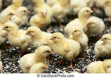 Gruppe junger Hühner in der Geflügelzucht