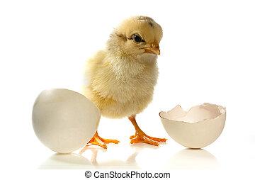 Hühnchen und das Ei