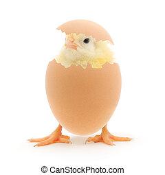 Hühnchen und eine Eierschale