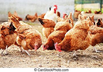 Hühner auf traditioneller Freiland-Hühnerfarm
