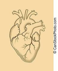 Herz. Das innere menschliche Organ, anatomische Struktur.