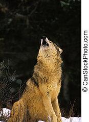 Heulender Wolf sitzt