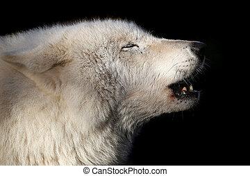 Heulender Wolf.