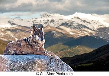 Iberischer Wolf liegt auf Felsen