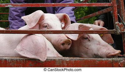 inländisch, schweinefleisch, landwirtschaft, tier, schwein