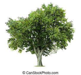 Isolierter Apfelbaum