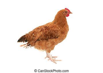 Isoliertes Hühnchen.
