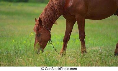 junger, sie., schöne , viele, pferd, sommer, bauernhof, brauner, senkrecht, fliegen, grase, panorama., belästigen, sonnig, kette, day.