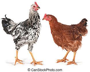 Junges Huhn und Hahn