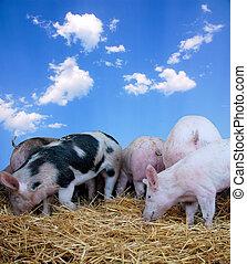 Junges Schwein auf Heu
