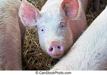 Junges Schwein