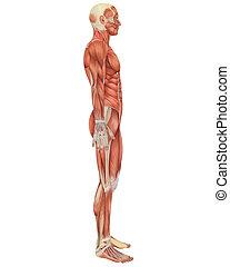 koerperbau, mann, seite, muskulös, ansicht