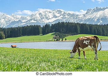 Kuh auf grünem Gras am Seeufer und in den Alpen.