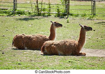 Lama guanicoe in grünem Gras