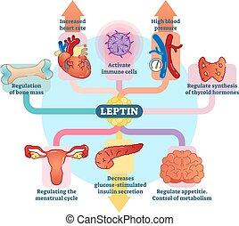 Leptin-Hormonrolle in schematischer Vektorgrafik.