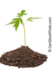 marijuana pflanze